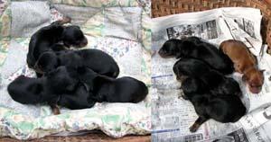 ダックス・ドーベルマン・ドッグスクールノウァ徳島県で犬を買うなら!繁殖販売取り寄せ可能!