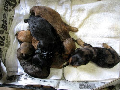 徳島県で犬を買うなら!繁殖販売取り寄せ可能!仔犬出産情報・ダックスフンド7月14日に産まれました・画像は7月29日撮影です・予約される方メール下さい d(^-^)ネ!・レッドL♂・ブラックタンL♀・レッド(こげ茶)S♂・シルバーダップルL♂・レッドS♀以上5頭の出産です